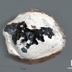 Вивианит в раковине, 7,4х6,7х3,8 см
