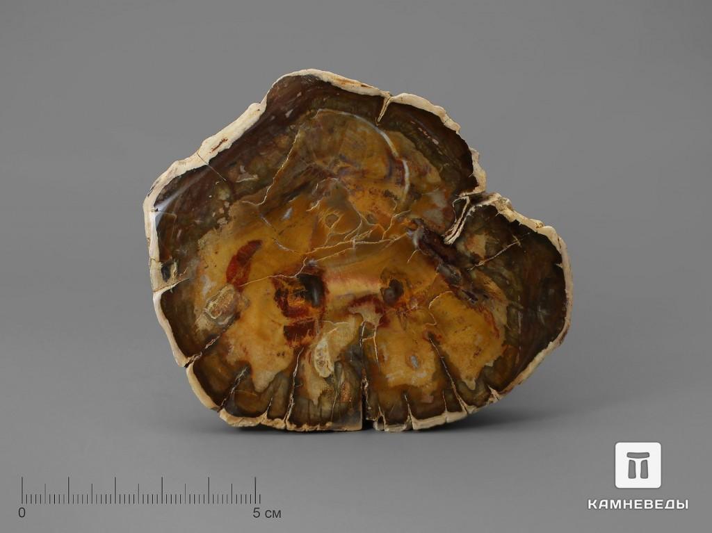 Окаменелое дерево, полированный срез 8,5-9,5 см